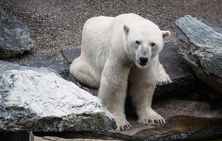 polar-bear-3063131_960_720