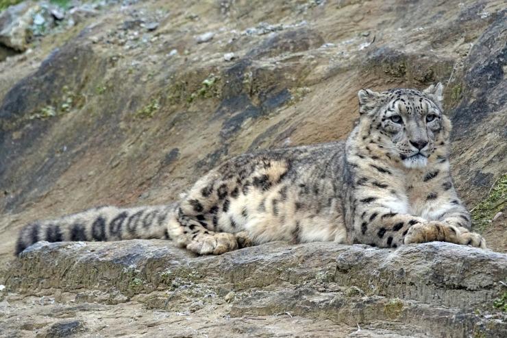 snow-leopard-1990553_1920